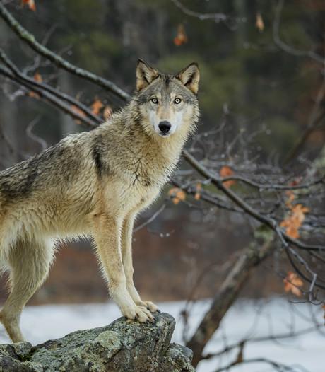 Wolf  voor de tweede keer gespot op de Veluwe