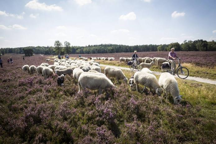 Een typisch beeld van de Veluwe. Een bloeiende heide, een kudde schapen en toeristen op de fiets.