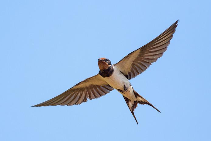 Een zwaluw.