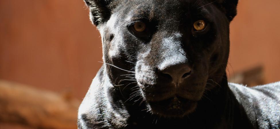 Selfie met hond of kat, okay. Maar met een jaguar?