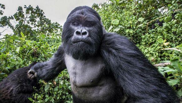 Ondanks de gebalde vuist van de gorilla, bleef Christophe foto's nemen.