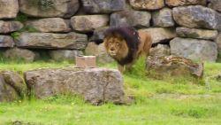 Leeuwin Dana is leeuw Dany te slim af