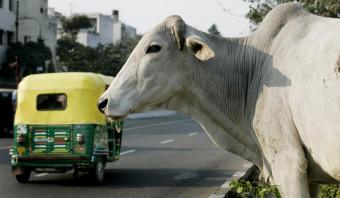 Hoe boer Khan zijn koeien terugkreeg