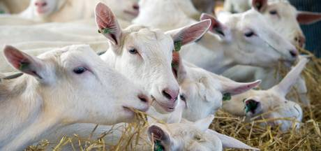 Boze boeren in Arnhem: 'Verbod is doodsteek voor geitenhouders'