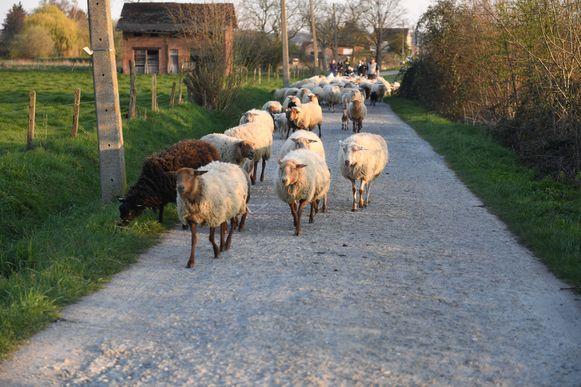 Brecht Laukens wandelt met zijn kudde schapen door het Kastanjebos in Veltem