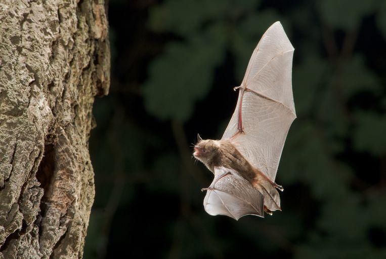 De rol van de vleermuis in de verspreiding van virussen is opmerkelijk: maar ze worden relatief oud; tolereren virussen omdat ze veel energie kwijt zijn aan vliegen; en een kwart van de zoogdieren is een vleermuis.  Beeld TR Beeld