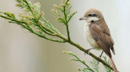 """Plots erg veel zeldzame vogelsoorten aan onze kust: """"De klimaatopwarming kan een rol spelen"""""""