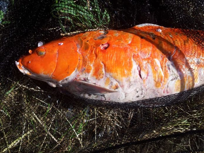 Ook de grote oranje koikarper heeft de maaibeurt niet overleefd.