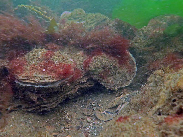 Een platte oesterbank. Beeld Bureau Waardenburg