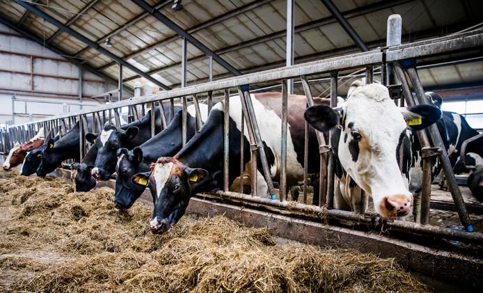 Koeien op stal bij een melkveehouder.