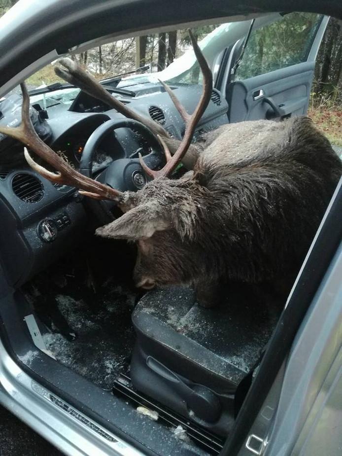 Op beeld van de brandweer is te zien hoe het hert in zijn volledigheid op de voorbank van de auto is beland