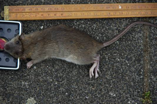 Een van de ratten die de familie Maas ving.