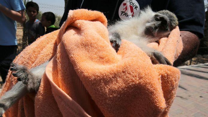 Een lid van de organisatie 'Vier poten' draagt een aapje uit de zoo in Gaza.