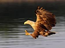 Zeldzaam: zeearend bouwt nest op Tiengemeten