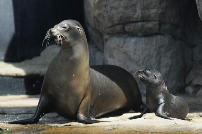 De kleine zeeleeuwen krijgen zwemles van hun moeder.