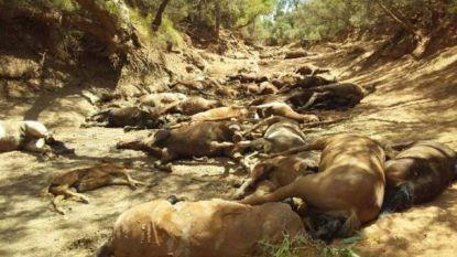 """Schokkende beelden van dode wilde paarden in bloedheet Australië: """"Ze zochten naar water, maar vonden enkel zand"""""""