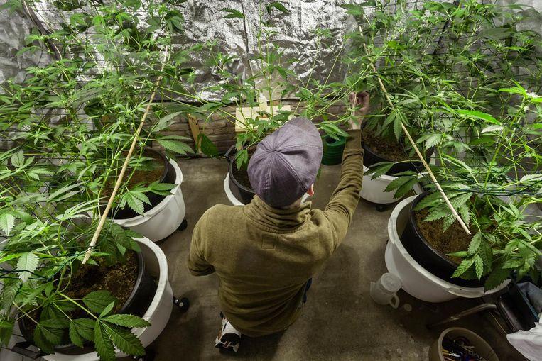 Een wietteler verzorgt zijn wietplanten in een growtent. Beeld Gabriel Eisenmeier