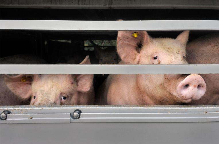 Varkens in een aanhanger op weg naar het slachthuis. Beeld Hollandse Hoogte / Flip Franssen