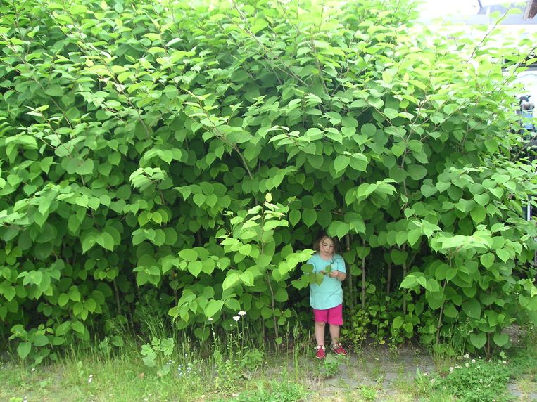 De Japanse Duizendknoop is een exotische plant die in Lier met een elektrische onkruidbestrijder zal worden aangepakt.