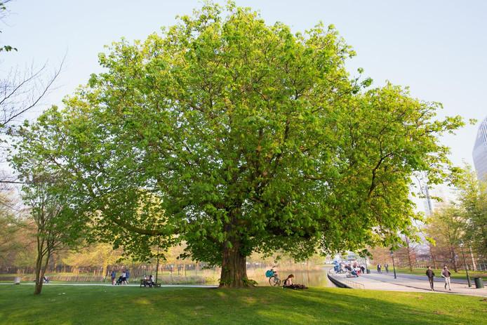 De paardenkastanje in Koekamp is volgens inwoners de mooiste boom in Den Haag.