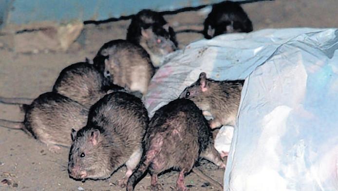 Volgens ongediertebestrijders leven er in Utrecht meer ratten dan er mensen wonen. Ze komen via gaten en scheuren ook de huizen binnen