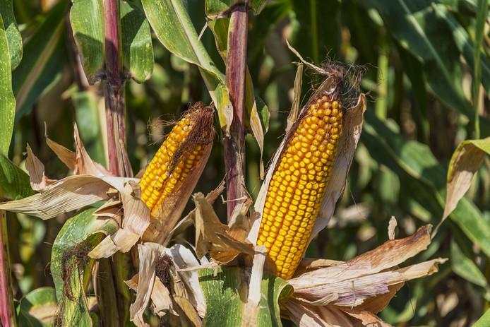 Wie maïs in de uiterwaarden geplant heeft kan dit jaar een oogst wel vergeten. Foto: CC0