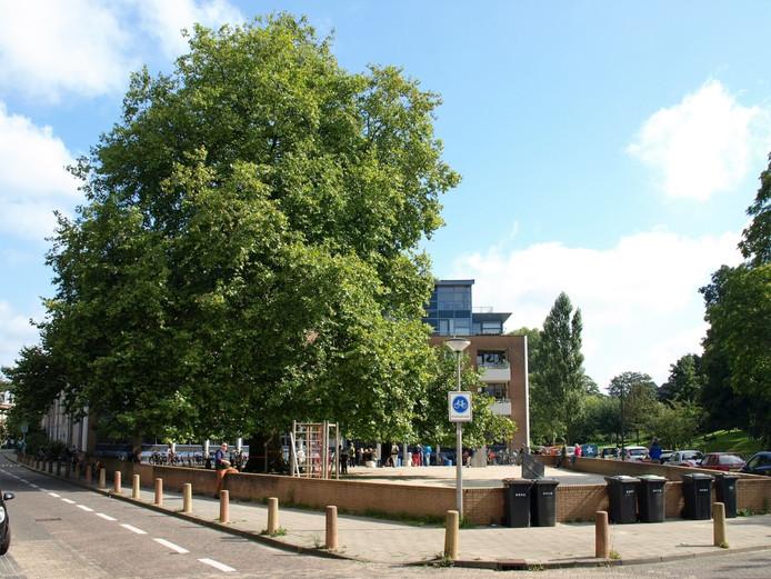 De eeuwenoude plataanboom aan de Schimmelpennickkade/straat op schoolplein Tafelronde in Amersfoort