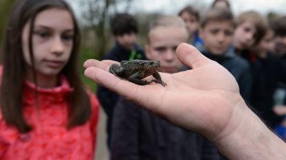 Paddenoverzet Oud-Heverlee wil ook dit jaar meer dan 8.000 amfibieën de baan overhelpen