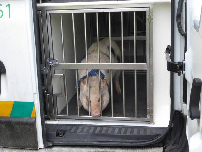 Marietje is weer gevangen en wordt naar huis gebracht.