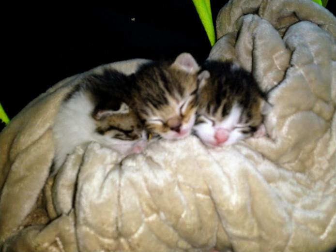 Uitzonderlijk Drie kittens gevonden in kartonnen doos in Vragender   Achterhoek IP91