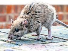 De Bilt krijgt rattenplaag niet uitgeroeid