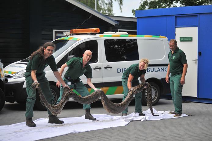Medewerkers van de dierenambulance met de gigantische tijgerpython.