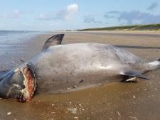 Dode bruinvis spoelt aan op strand Rockanje: doodsoorzaak wordt onderzocht.
