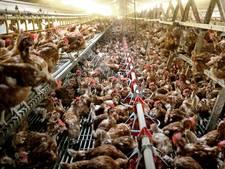 'Noodfonds voor kippenboeren dringend nodig'