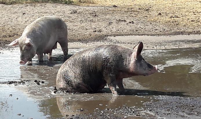Lekker rollebollen in de modder bij Boer Bas.