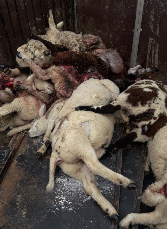 12 schapen werden in Laag Zuthem doodgebeten. Nog eens 14 kregen een spuitje, nadat ze gebeten waren door een dier. Was dit een wolf?
