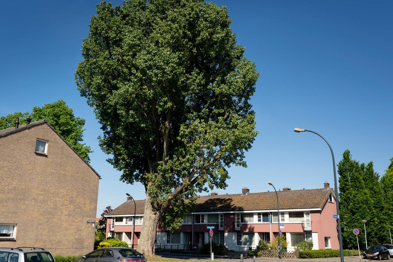 De grote populier aan de Van Lovenlaan in Waalwijk moet waarschijnlijk gekapt worden.