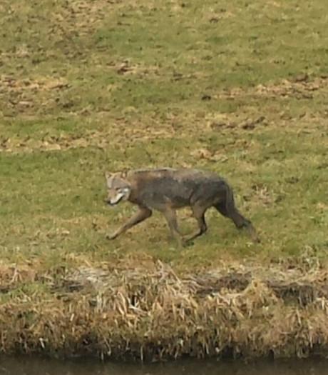 Wolf op strooptocht door IJsseldelta