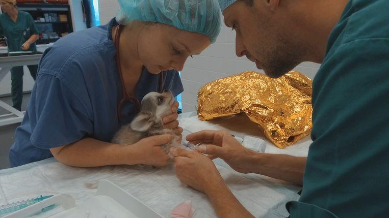 Studenten behandelen een zieke Chihuahua op de faculteit dierengeneeskunde in Merelbeke