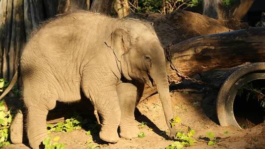 Olifant Thabo Viert Eerste Verjaardag In Dierenpark Amersfoort
