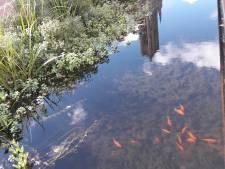 Autoriteiten willen af van graag geziene goudvissen in Jansbeek