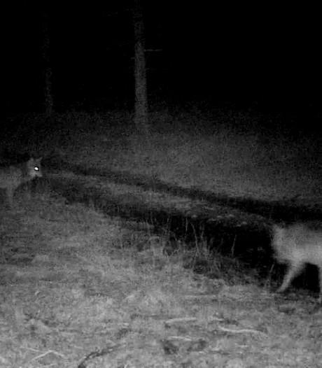 Van deze foto worden wolvenkenners wild: 'Waarschijnlijk wéér welpjes, waanzinnig!'