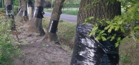 Oproep in Noordoost-Twente: haal plastic rond eikenstam weg, het helpt niet tegen jeukrups