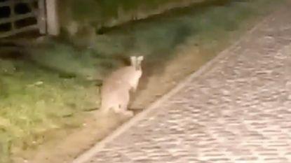 De kangoeroe van Kruisem is na maanden eindelijk gevangen