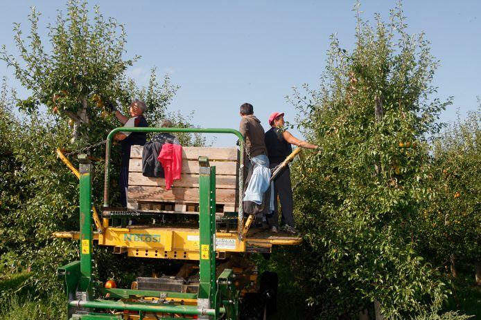 Traditioneel helpen heel wat buitenlandse seizoensarbeiders bij de oogst.