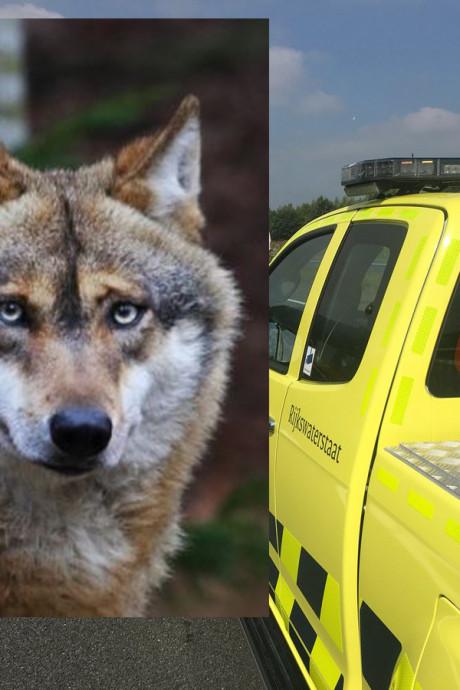 Aangereden 'wolf' op A50 bij Epe blijkt hond: eigenaar haalt dier op