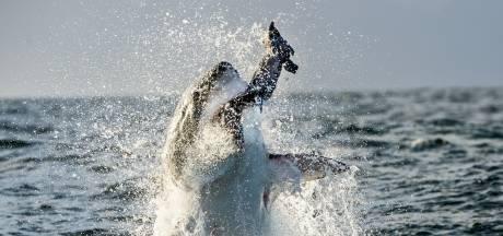 Springende witte haaien bij Zuid-Afrika vallen ten prooi aan jagende orka's