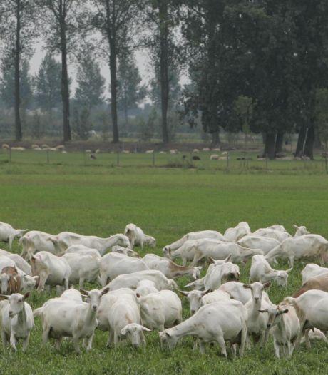 Koeien en geiten staan huizenbouw niet in de weg in Tuil en Herwijnen
