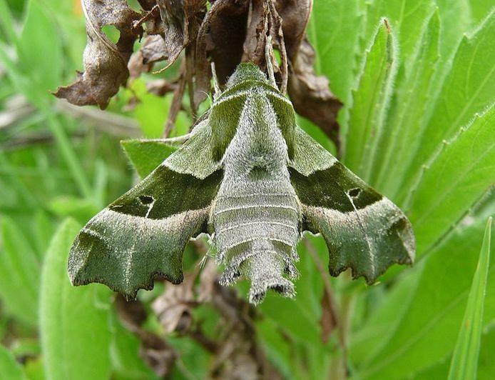 De teunisbloempijlstaartvlinder
