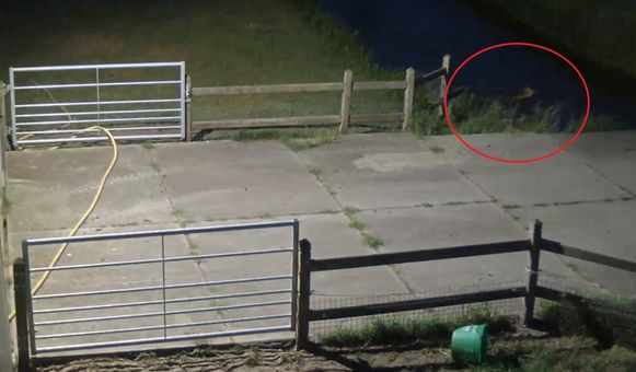 De bewakingscamera legde vast hoe de wolf een beek overzwemt.
